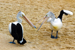 Australian Pelican fight Royalty Free Stock Photography