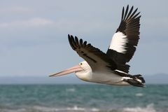 Australian pelican flying Stock Photography