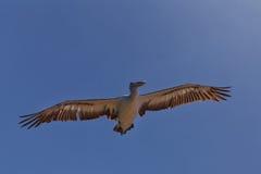 Australian Pelican Royalty Free Stock Photography