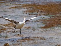 An Australian Pelican Royalty Free Stock Images
