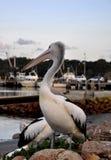 Australian Pelican, Greenwell Point Stock Photos