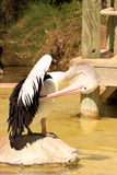 Australian Pelican Grooming on Rock Royalty Free Stock Image