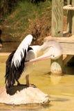 Australian Pelican Grooming on Rock. Pelecanus Conspicillatus. Australia Royalty Free Stock Image