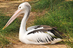 Australian pelican has a rest Royalty Free Stock Image