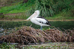 Australian pelican on island nest. An Australian white pelican resting on an island nest located in the middle of a lake Royalty Free Stock Photos