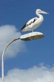Australian Pelican, Kangaroo Island Stock Image