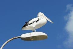 Australian Pelican, Kangaroo Island Stock Images