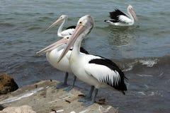 Australian Pelican, Kangaroo Island Royalty Free Stock Photos