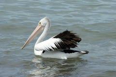 Australian Pelican, Kangaroo Island Royalty Free Stock Photo