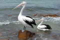Australian Pelican, Kangaroo Island Stock Photography