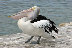 Australian Pelican, Kangaroo Island Royalty Free Stock Photography