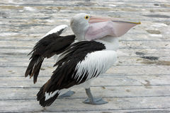 Australian Pelican, Kangaroo Island Royalty Free Stock Image