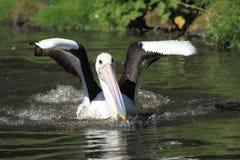 Australian pelican Stock Photography