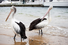 Australian Pelican looking at another Pelican passing by.  royalty free stock photos