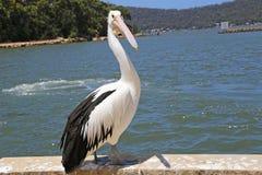 Australian pelican near a lake Royalty Free Stock Photos