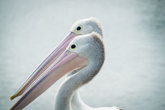 Australian pelican pair together Royalty Free Stock Photography