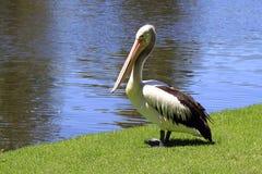 Australian Pelican - Pelecanus Conspicillatus. Along the River Torrens, Adelaide, Australia Stock Photography