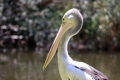 Australian Pelican - Pelecanus Conspicillatus. Along the River Torrens, Adelaide, Australia Stock Photo
