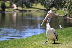 Australian Pelican - Pelecanus Conspicillatus. Along the River Torrens, Adelaide, Australia Stock Images
