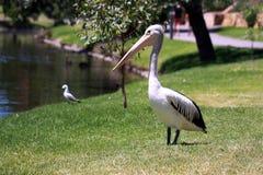 Australian Pelican - Pelecanus Conspicillatus. Along the River Torrens, Adelaide, Australia Royalty Free Stock Image