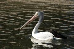 Australian Pelican (Pelecanus conspicillatus) Royalty Free Stock Photo