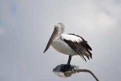 Australian Pelican (Pelecanus conspicillatus) Royalty Free Stock Image