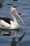 Australian Pelican (Pelecanus conspicillatus) Stock Photography