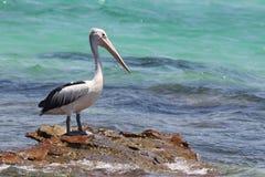 Free Australian Pelican (Pelecanus Conspicillatus) Stock Image - 56572231