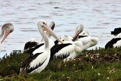 Australian Pelican,Pelecanus conspicillatus,ashore, Australia Royalty Free Stock Images