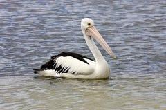 Australian Pelican,Pelecanus conspicillatus,ashore, Australia Royalty Free Stock Photos