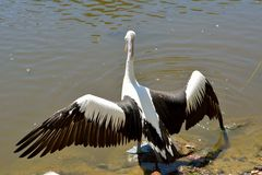 Australian pelican Pelecanus conspicillatus. With spread wings by the water in Queensland, Australia royalty free stock photography