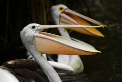 Australian Pelican - Pelecanus conspicillatus. Beautiful large water bird from inland and coastal water of Australia and Indonesia royalty free stock photos