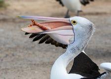 Australian pelican Pelecanus conspicillatus with fish in its big beak on sandy beach stock photos