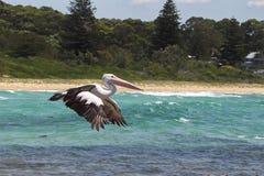 Australian Pelican (Pelecanus conspicillatus) Stock Photos