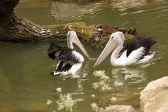 Australian Pelican, Pelecanus conspicillatus, hunt for food in water Royalty Free Stock Photo