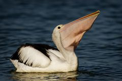 The Australian pelican Pelecanus conspicillatus is a large waterbird. The Australian pelican Pelecanus conspicillatus with the prey of fish, widespread on the royalty free stock images