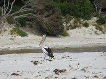 An Australian Pelican Stock Images
