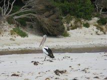 An Australian Pelican Stock Images
