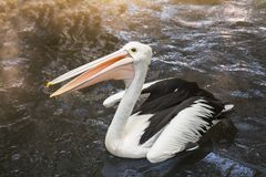 Australian pelican Pelecanus conspicillatus. One australian pelican Pelecanus conspicillatus floating in the water close up royalty free stock photography