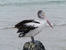 An Australian Pelican Stock Photo