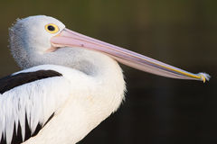 Australian Pelican (Pelecanus conspicillatus) Royalty Free Stock Photography