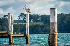 Australian pelican Pelecanus conspicillatus on a post at sunset in Narooma, New South Wales stock photography