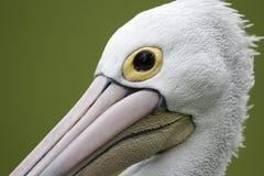 Australian pelican, Pelecanus conspicillatus Stock Photo