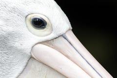 Australian pelican, Pelecanus conspicillatus Royalty Free Stock Photography