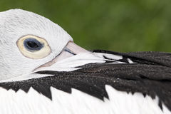 Australian pelican, Pelecanus conspicillatus Stock Photography