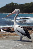 Australian Pelican (Pelecanus conspicillatus). Sitting on a rock at the coast in South Durras in the Murramarang National Park, Australia royalty free stock image
