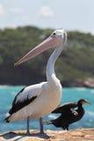 Australian Pelican (Pelecanus conspicillatus) Stock Image