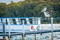 Australian pelican Pelecanus conspicillatus about to take off in a harbour with a boat in the background stock image
