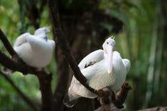 Australian Pelican (Pelecanus conspicillatus) on a tree Royalty Free Stock Photo