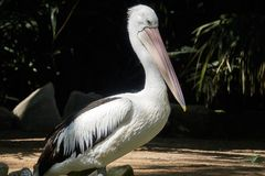 An Australian pelican Pelecanus conspicillatus in the wild closeup Stock Images